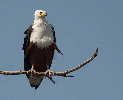 Marloth Park: Fish Eagle