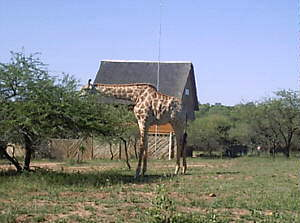 Giraffe in Marloth Park