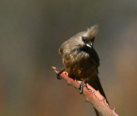 Marloth Park: Mouse Bird