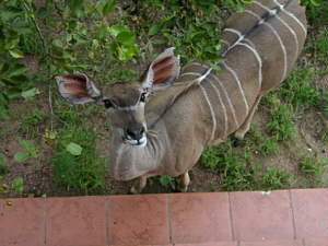 Kudu in Marloth Park
